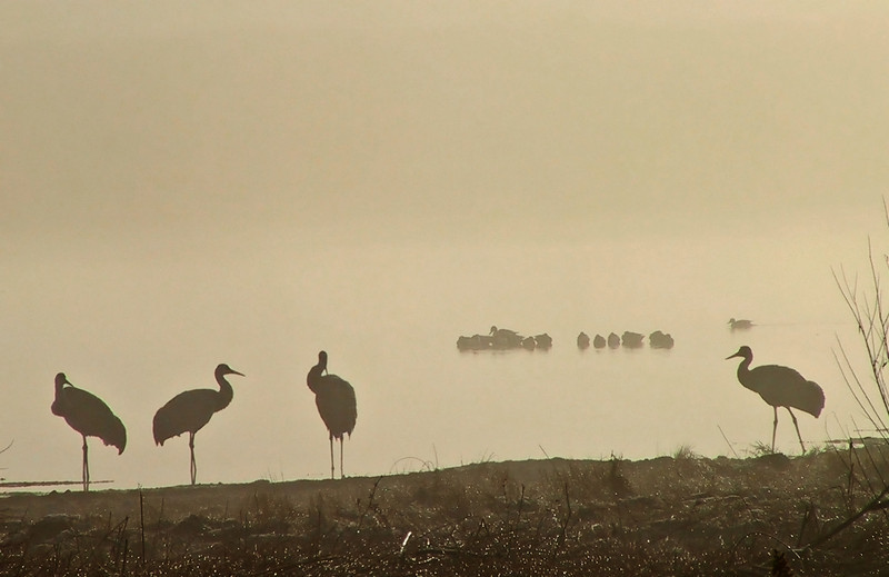 Sandhill cranes silhouetted in early morning fog.