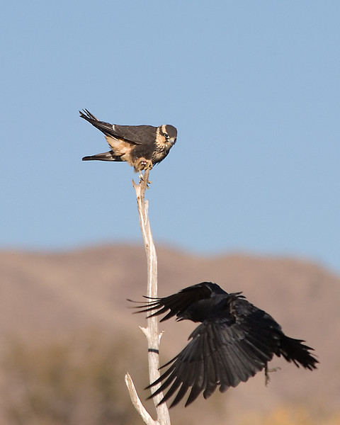 Apolmado Falcon (3)