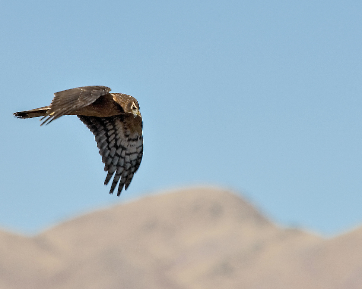 Northern Harrier (8)