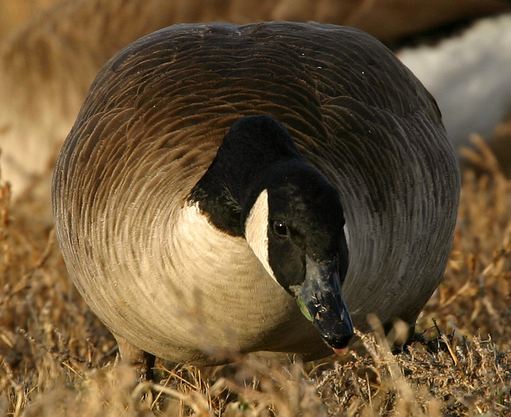 Canadian goose - dead on!