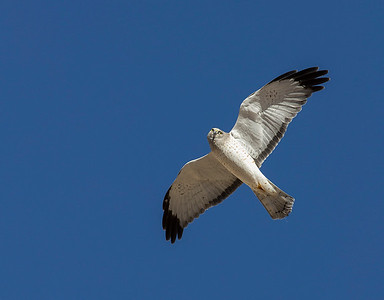 Male Northern Harrier.