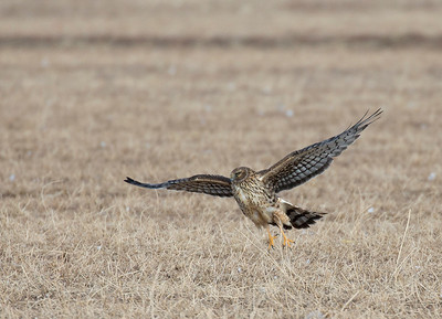 Female Northern Harrier.