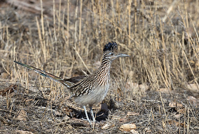 Greater Roadrunner.