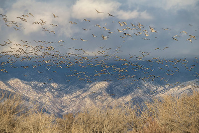 Sandhill Cranes flying in over mountains.
