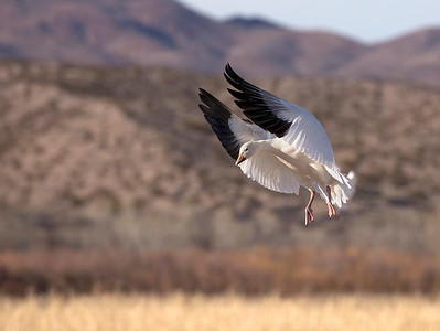 Snow goose coming in to land.