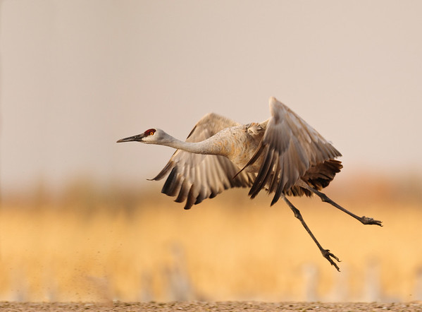 Sandhill Crane Liftoff