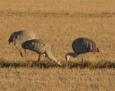 Sandhill Cranes Feeding, 2005