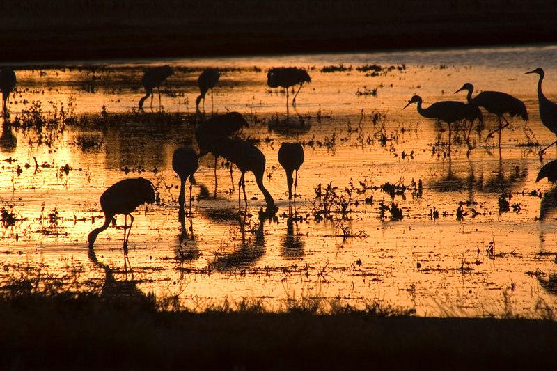 Sandhill Cranes at Sunset, 2005