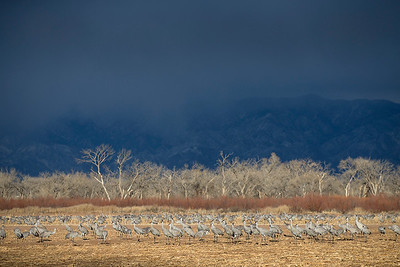 Sandhill Cranes and stormy sky.