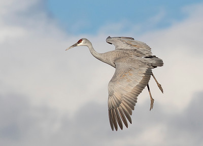 Sandhill Crane flying in.