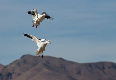 Snow geese coming in to land.