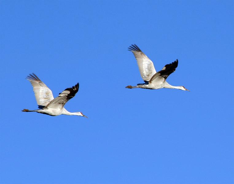 Sandhill Cranes in flight, 2005