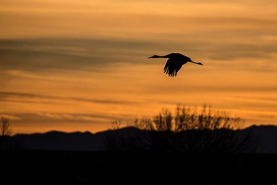 Sandhill Crane flying in sunset.