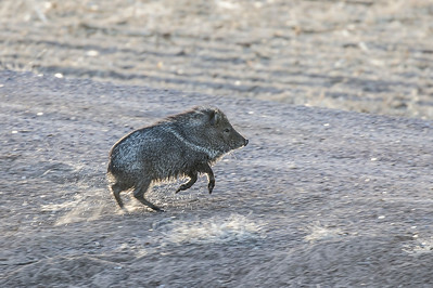 Collared Peccary, locally known as Javolina.