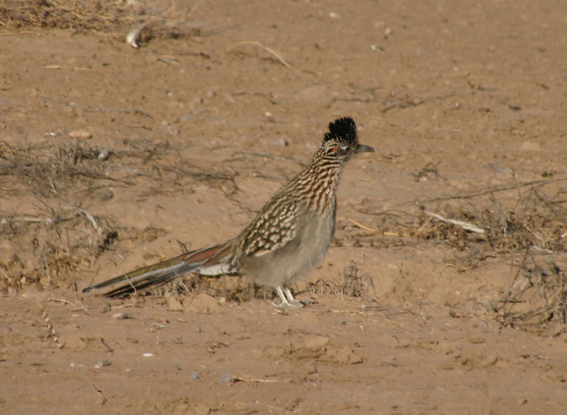 Greater Road Runner, 2005
