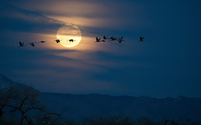Sandhill Cranes flying through full moon.