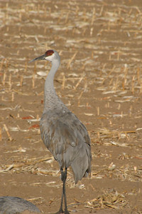 Sandhill Crane in Mowed Corn Field, 2005