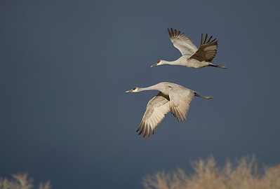 Sandhill Cranes flying in.