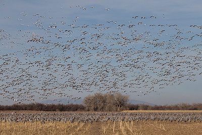 Snow geese and Sandhill Cranes.