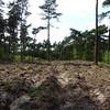 Verjongingsgat in grove dennenopstand met ploegvoren