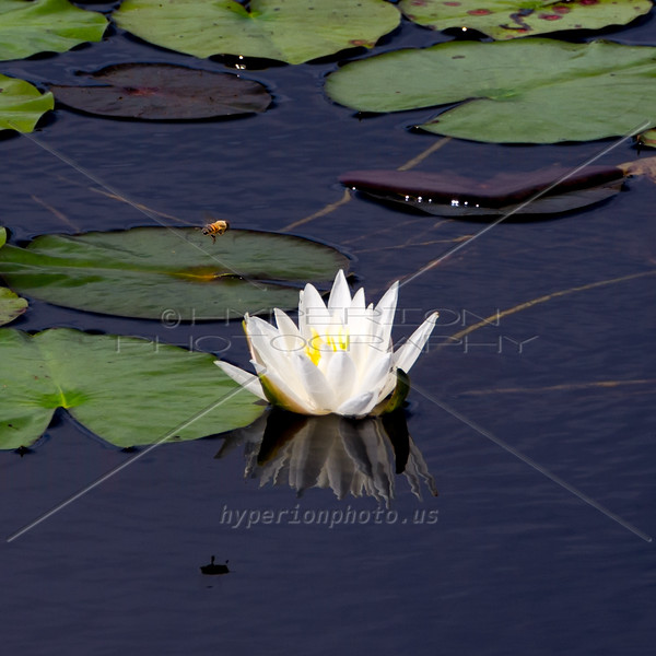 Bee landing on water lily