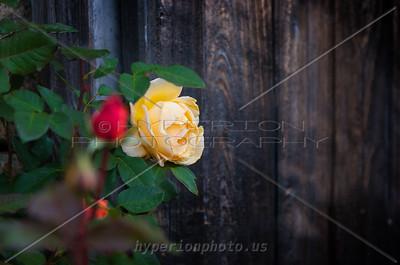 November's Rose