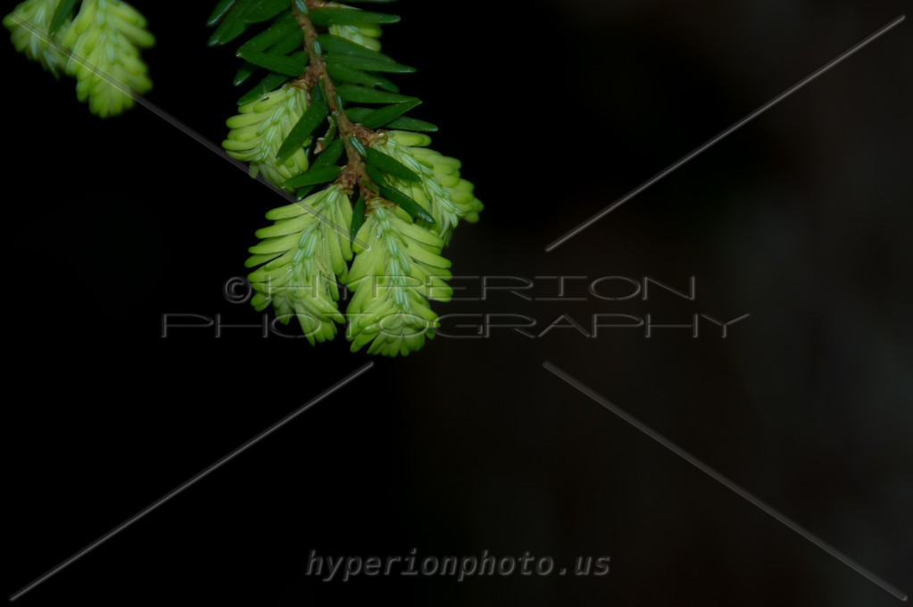 Fresh evergreen growth.