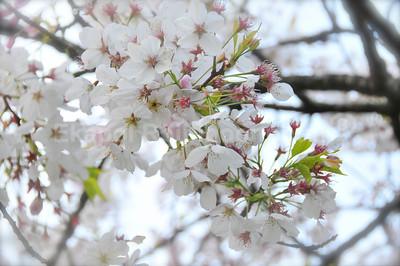 Spring -- Cherry Blossom. Golden Gate Park, San Francisco -- April 2008