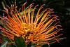 Pincushion Protea  (Protea Lurve)