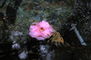 Camelia on the Stream