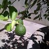 Ponderosa Limon