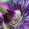 Passion Flower detail