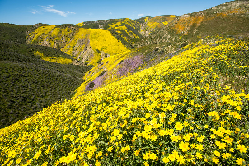 Coreopsis and Temblor Range, California