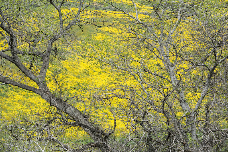 Oak tree and blooming  hills