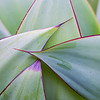 Agave leaf pattern