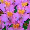 Peruvian Lily display