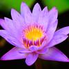Water Lily, Botswana