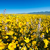 Spring Bloom, Carrizo Plain, California