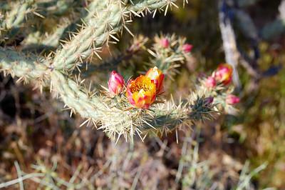 Buckhorn Cholla Flower II