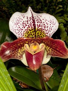 Paphiopedilum - Festive Hunter - 'Kensington' HCC/AOS - Orchid Family (Orchidaceae)