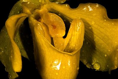 Paphiopedilum Trigreen - Orchid Family (Orchidaceae)