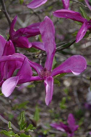 Lily Magnolia taken in Cape Girardeau, MO.