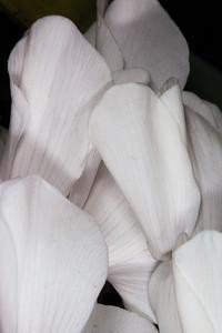 Florist's Cyclamen (Cyclamen persicum) - Myrsine Family (Myrsinaceoe)