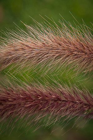 Purple Fountain Grass.