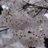 Cherry Blossom, Cape Girardeau, MO