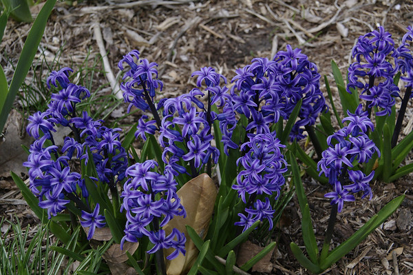 Hyacinths are spring-flowering bulbs with long, narrow leaves that are folded lengthwise. Hyacinths are highly fragrant flowers that bloom in dense clusters.  Taken in Cape Girardeau, MO.  Pentax K-7, 1/1000sec, f/5.6, ISO400, 50mm.