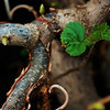 New Growth<br /> <br /> Harry Lauders Walking Stick