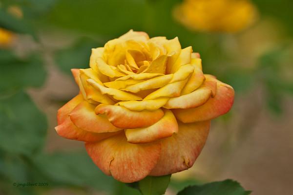 Rose Garden located in the Capaha Park, Cape Girardeau, Missouri.