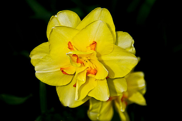 Double flowered Narcissus Daffodil.  Pentax K-7, 1/3000sec, f-6.7, ISO 400, 250mm.  Pentax 18-250mm lens.
