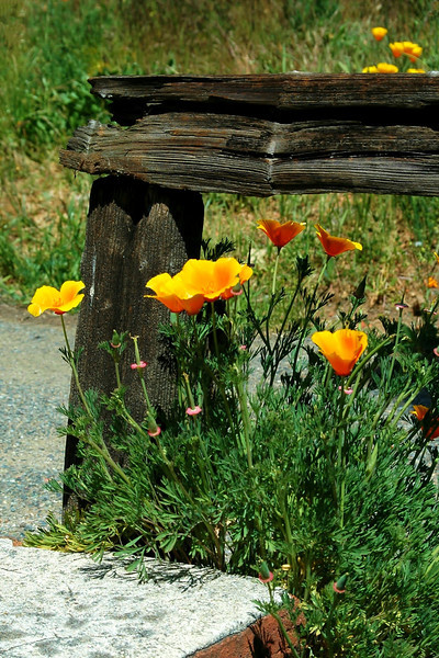 Poppies in Old Shasta